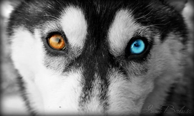 Husky Eyes Flickr Photo Sharing