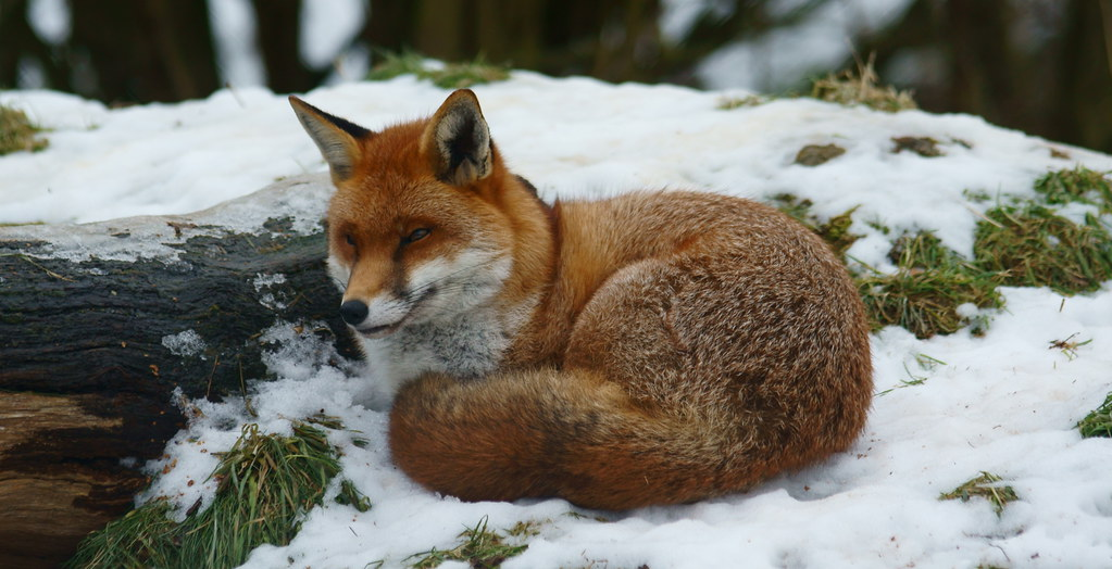 Fox In The Snow At The British Wildlife Centre