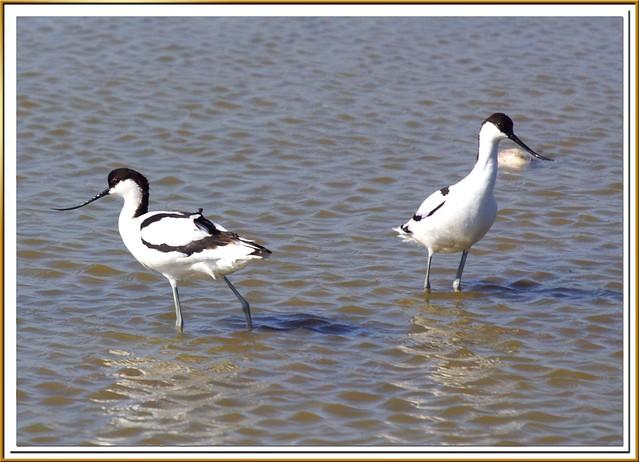 Avocetas - Becs d'alena - Pied avocet - Recurvirostra avosetta