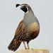 Coy quail