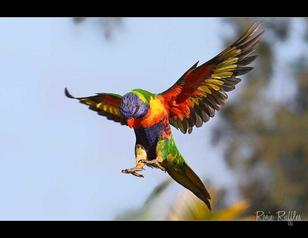 rainbow lorikeet flying rainbow lorikeet in flight