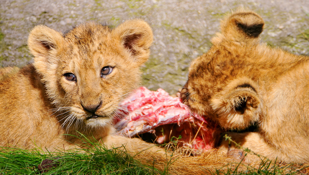 What do white lions eat - photo#39
