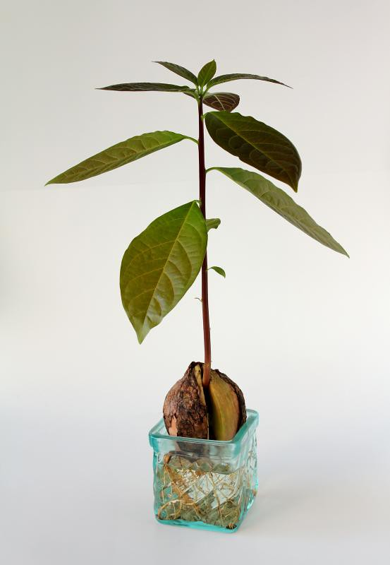 avocado plant from seed avocado plant growing from seed p flickr. Black Bedroom Furniture Sets. Home Design Ideas
