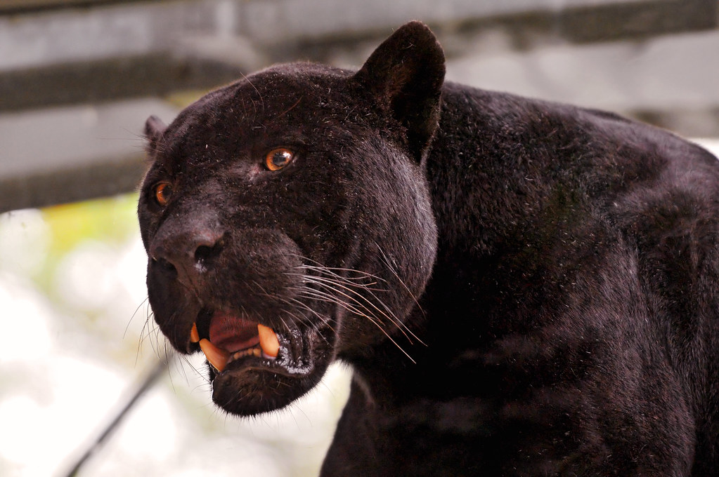 linus the black jaguar with open mouth i rarely see