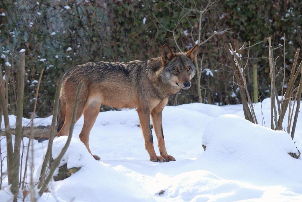 Iberischer Wolf im Gaia Park Kerkrade im Februar 2010