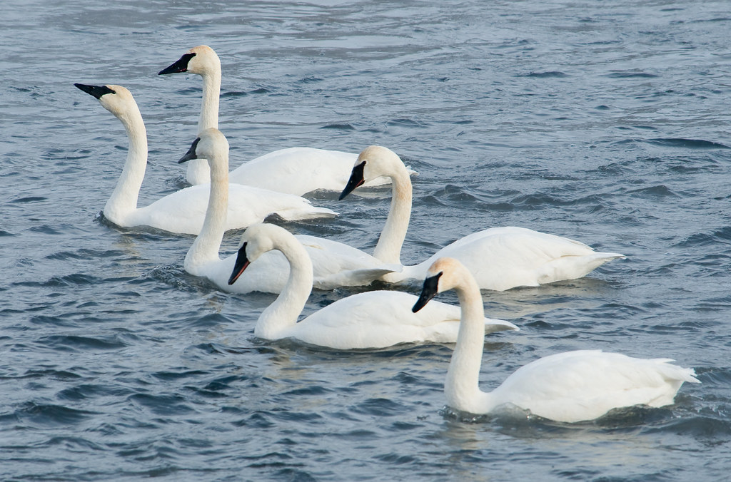 What Is A Group Of Swans Called 49