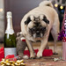 Party Pug!