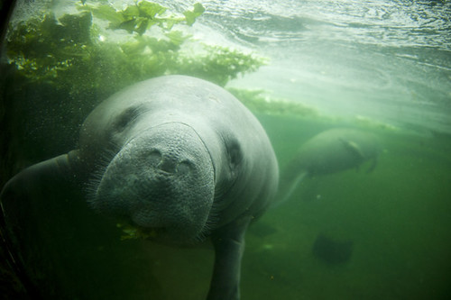 manatee | by captiveark