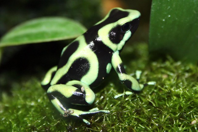 Green & Black Poison Dart Frog | Flickr - Photo Sharing! Poisonous Green Frogs In Texas