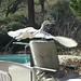 great egret2 norma lent laf