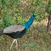 Peacock  [Olympus E520] [ Olympus Zuiko 70 300]