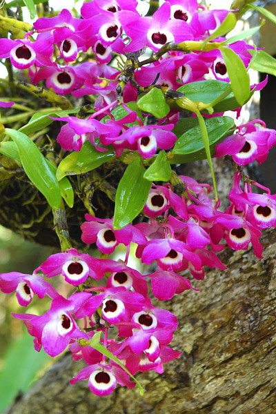 dendrobium nobile a gorgeous burst of magenta every. Black Bedroom Furniture Sets. Home Design Ideas