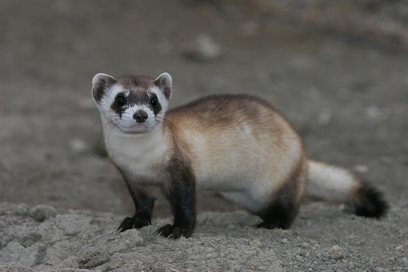 Black Footed Ferret And Prairie Dog Genetics Game