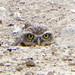 Artificial Owl Burrows-Las Vegas, NV