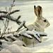 Winter Snowshoe Hare (1978) by Robert Bateman