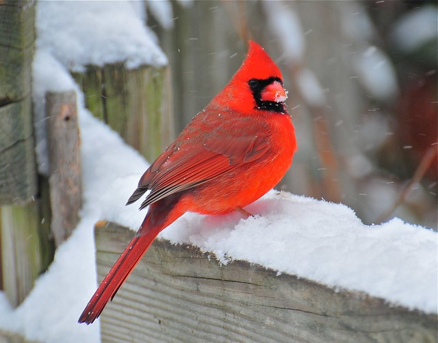 Male northern cardinal in the snow flickr photo sharing - Pictures of cardinals in snow ...