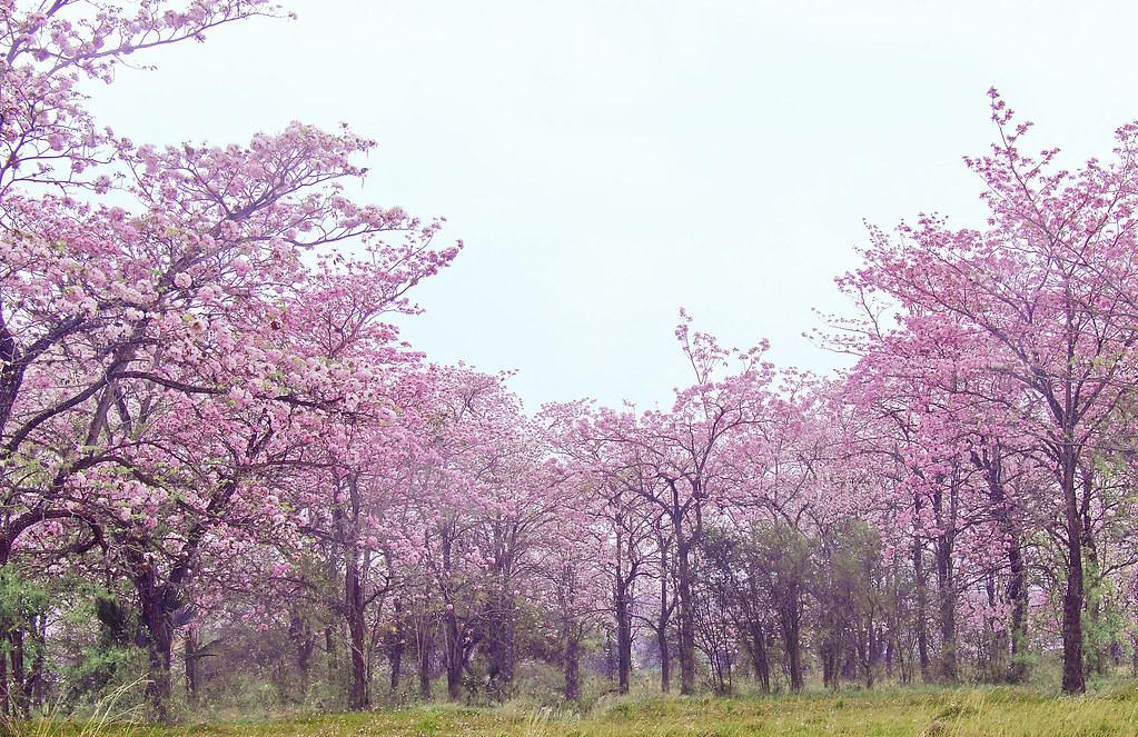 Resultado de imagen para palo de rosa valles