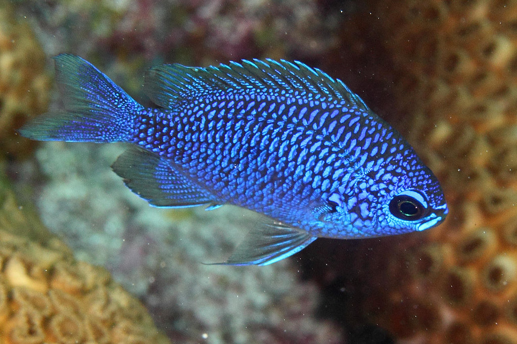 IMG_0350wxcrre Purple Reeffish (Chromis scotti) or Purple ...