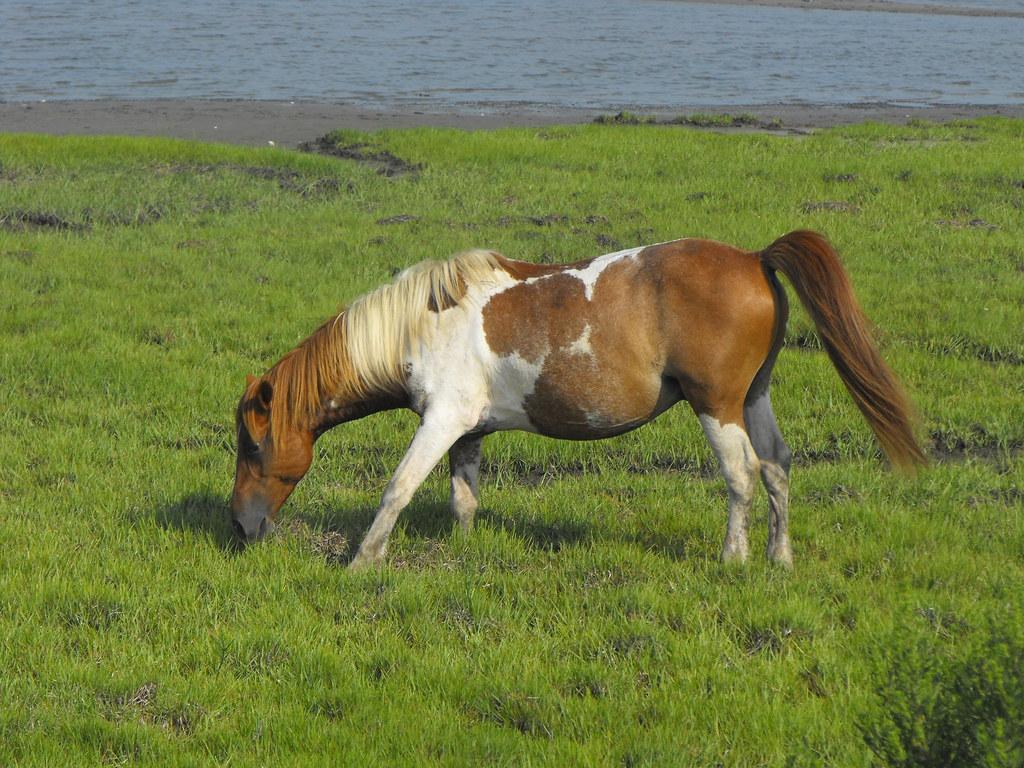 Chincoteague pony | A Chincoteague pony off the Service ...