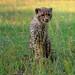 CheetahBaby