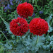 Papaver 'Crimson Feathers'