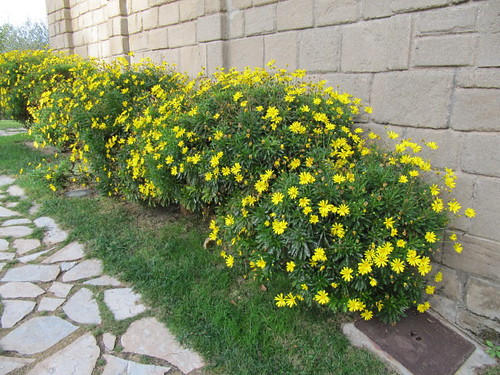 Euryops chrysanthemoides | Flickr - Photo Sharing!