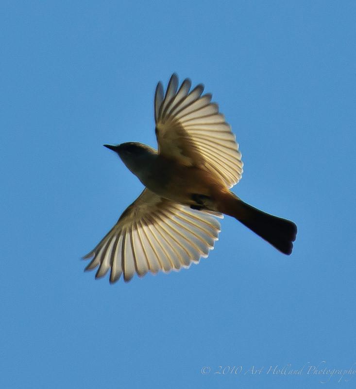 Bird wings backlit in flight   An unknown bird (maybe a ...