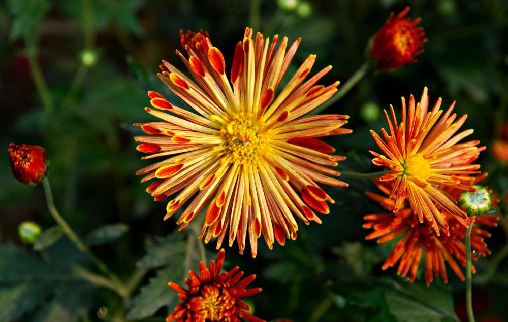 spoon chrysanthemum this unusual and interesting