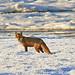 Fox on Saltmarsh 21 10 10_4213