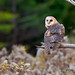 Barn Owl - (Oct 2010)
