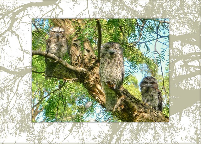 how to get tawny frogmouths to trust you