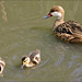 White-Cheeked Pintail with Chicks