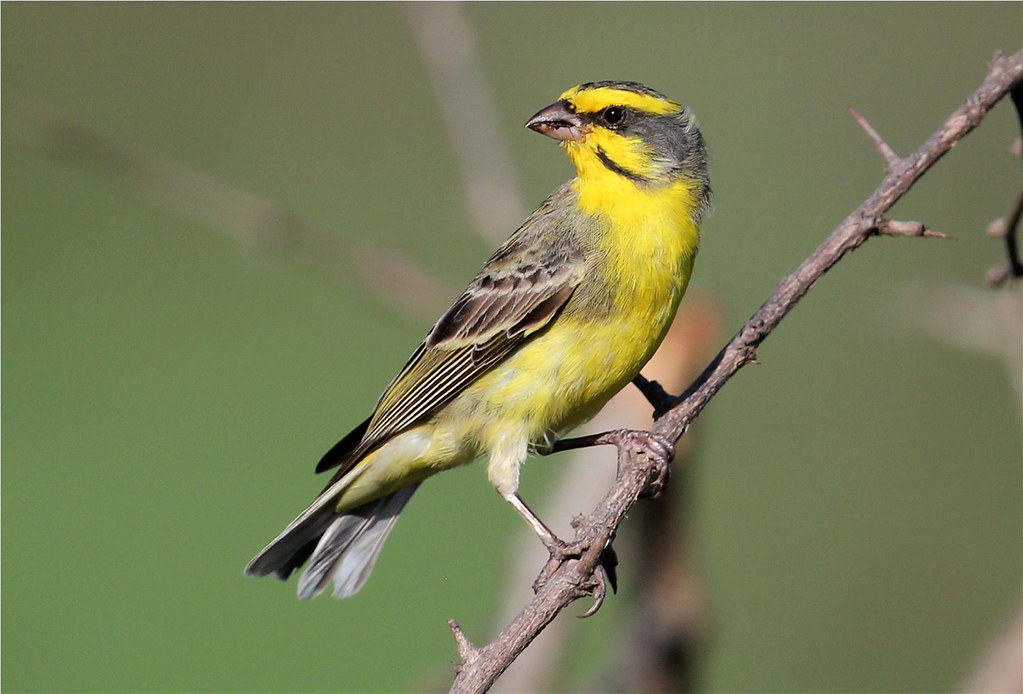Yellow Fronted Canary