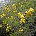 Sophora howinsula in cultivation in Berkeley