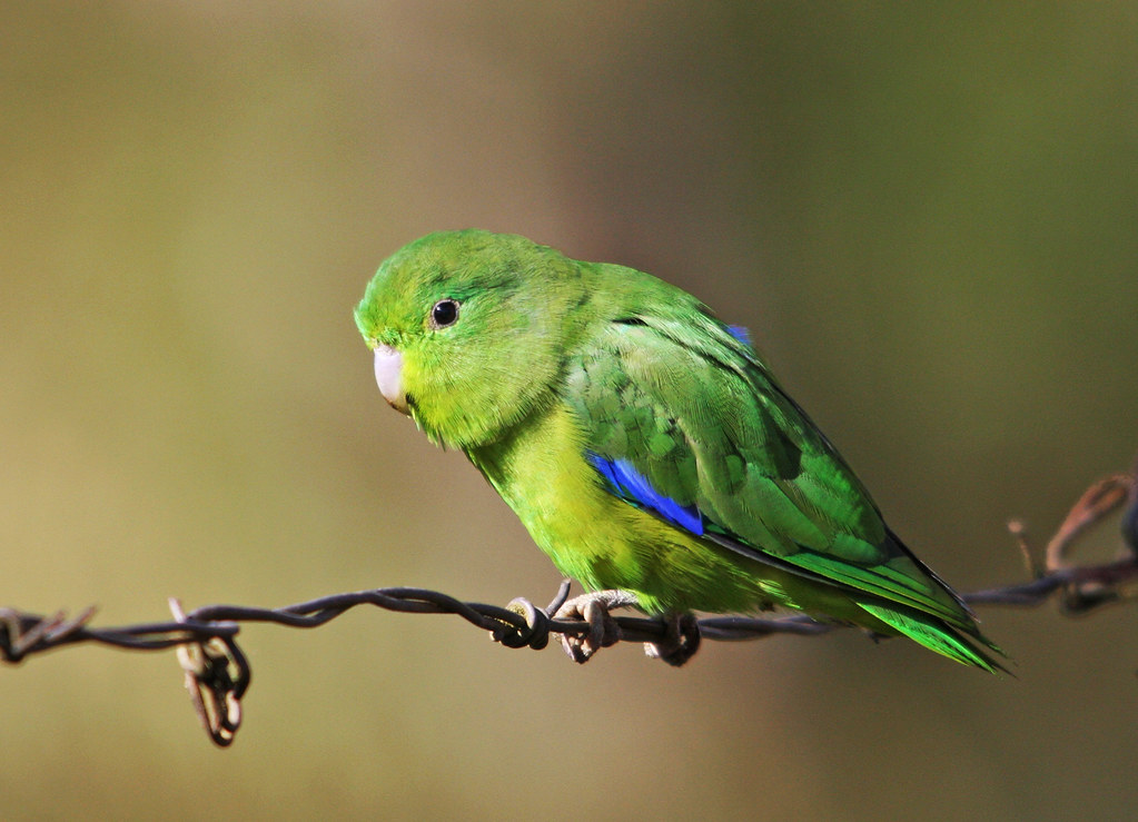 Winged Parrotlet Blue Winged Parrotlet-male