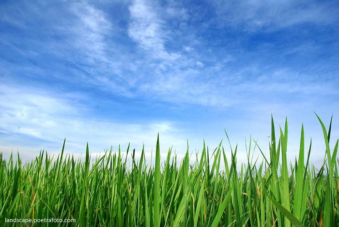 Foto Pagi Hijau Blue Sky in Indonesia | PADI HIJAU - BLUE ...