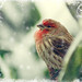 House finch in snow