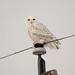 Snowy Owl DSC_3064