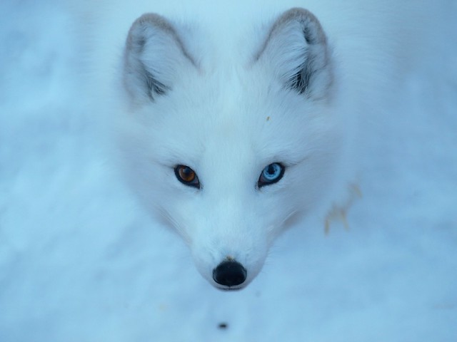 Arctic Fox | Flickr - Photo Sharing!