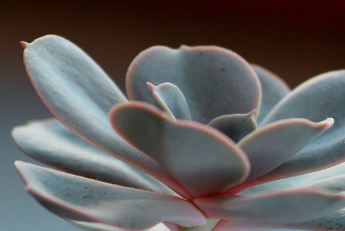 Succulent | by Geninne