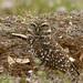 _MG_6681_030611_Burrowing Owl