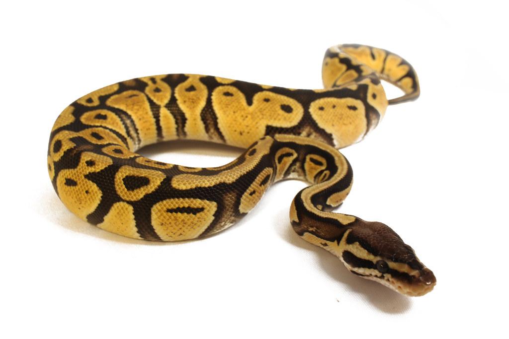 Lemon Pastel Ball Python