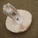 Silarca // Mushroom (Amanita ponderosa)