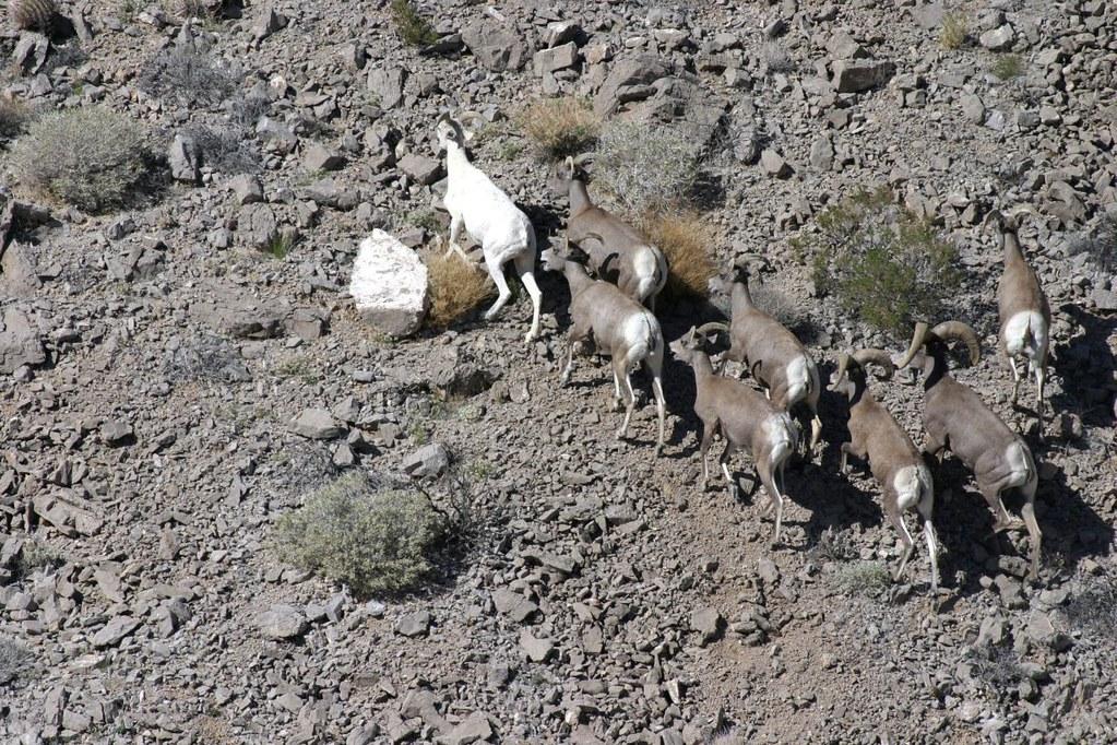 Desert bighorn sheep including one albino california for California department of fish and wildlife jobs