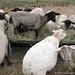 Extreme Foodie Sheep