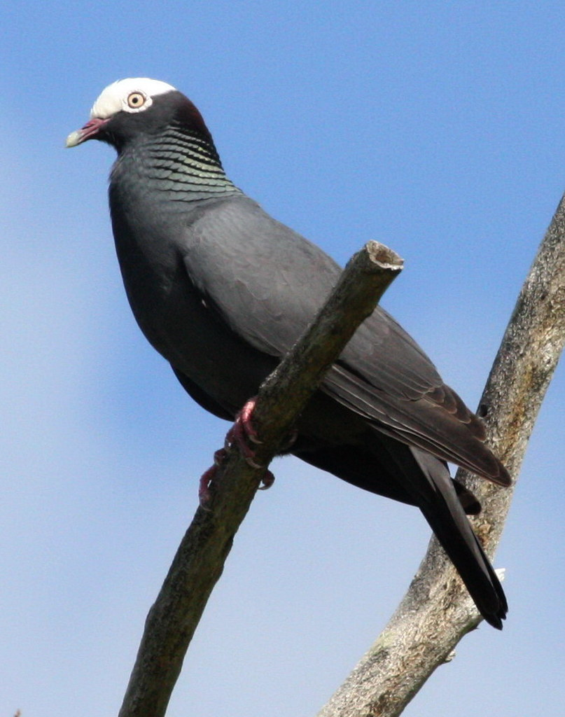 White crowned pigeon - photo#38