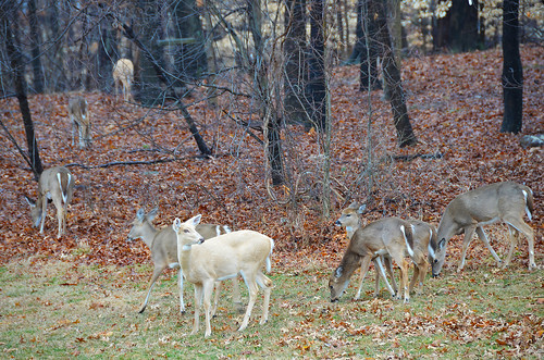 Photo of a herd of white-tailed deer, taken by Paul Farley