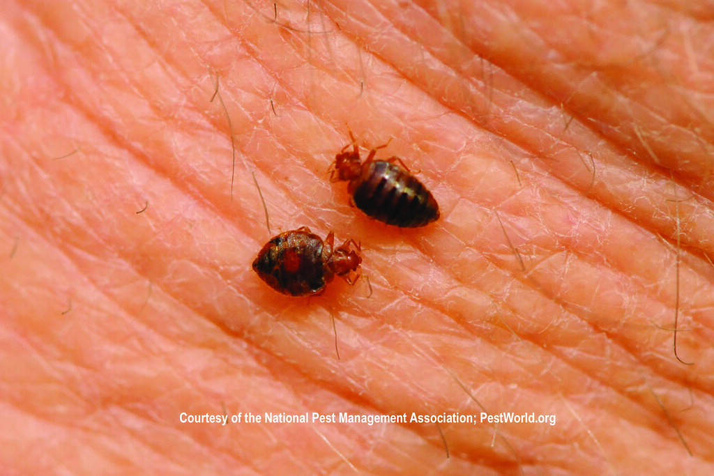 Bed Bugs In Your Carpet