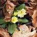 Primula vulgaris (with Fagus sylvatica leaves + cupules) (48°07' N 16°13' E)