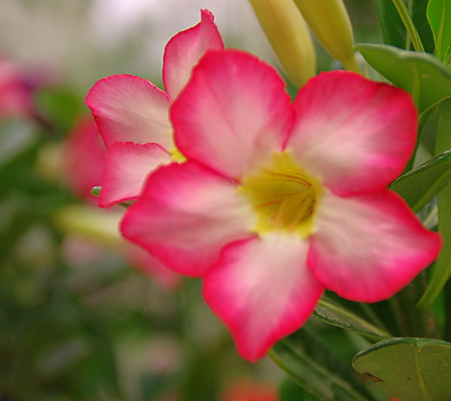 Cherokee rose my favorite roses by morgan lytle for Cherokee rose